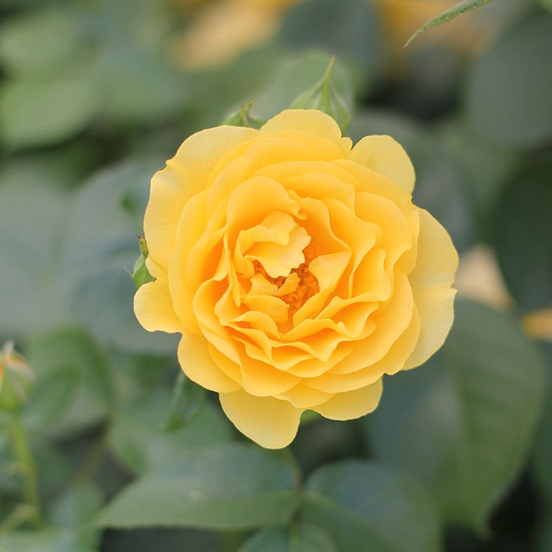 Rose Julia Child Landscaping With Roses Dog Friendly Plants Plants