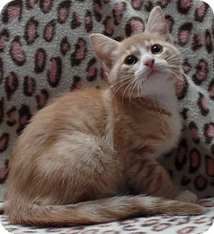 Pictures of MARLEY a Domestic Mediumhair for adoption in Dallas, TX who needs a…