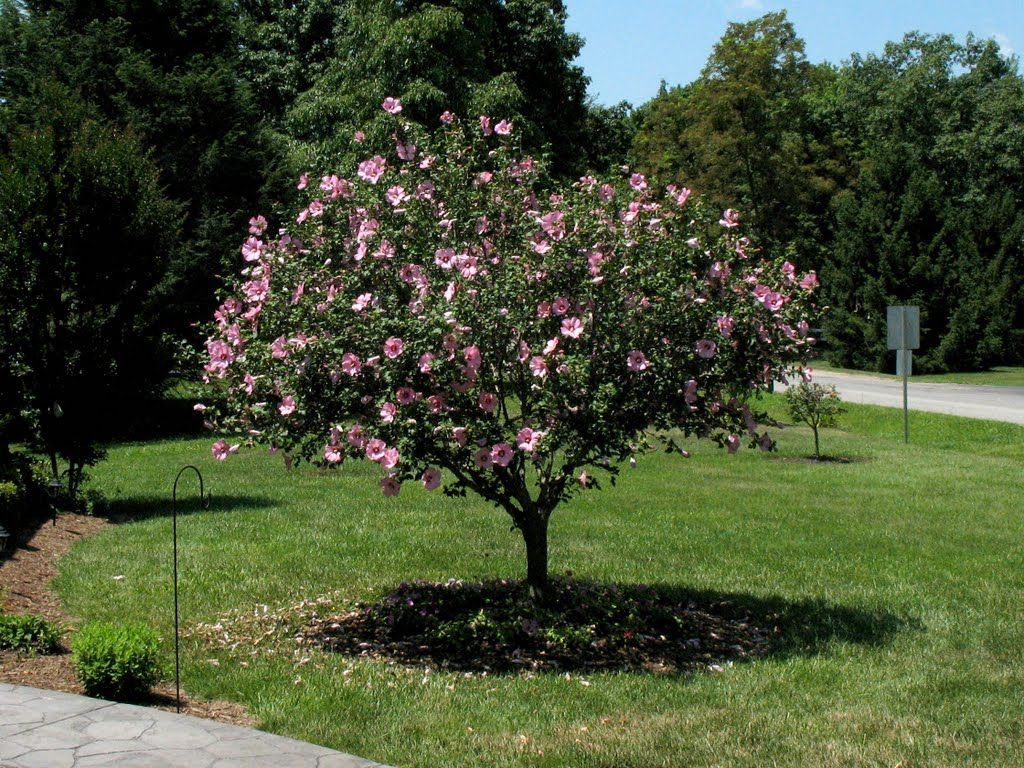 Rose of Sharon is a common name that applies to several different ...