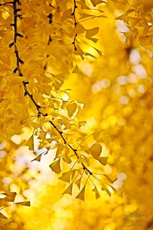 Yellow | Giallo | Jaune | Amarillo | Gul | Geel | Amarelo | イエロー | Colour | Texture | Style | Form |  ginko trees