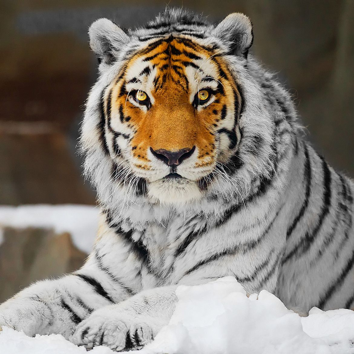 Tiger: White Tiger With Orange Face. Unique!