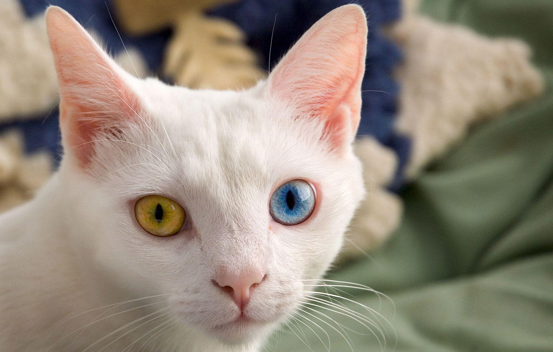 Khao Manee Cat • Purrfect Cat Breeds Animals, Cats