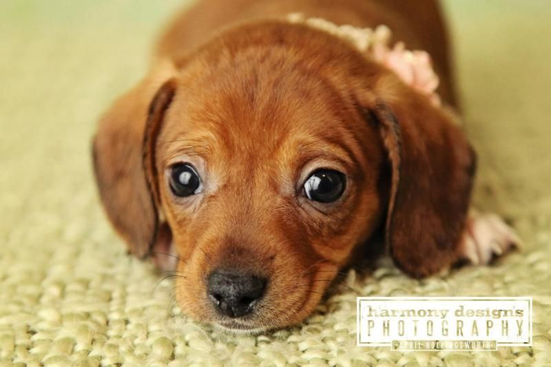 Adopt Rory On Adoptable Dachshund Dog Dogs Animal Rescue