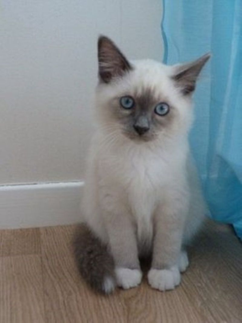 Resultat De Recherche D Images Pour Birman Chat Baby Cats Pretty Cats Birman Kittens