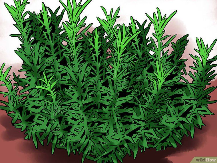 Propagating Rosemary Growing Rosemary Indoors Growing 400 x 300