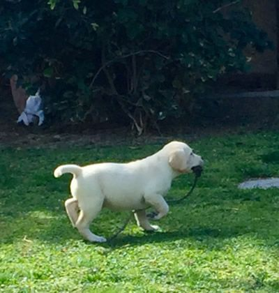 #Cachorro #Labrador #Retriever color amarillo.