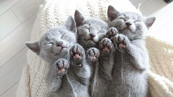 Pin By Sarah Carner Noordam On Too Cute Russian Blue Cat Russian Blue Blue Cats