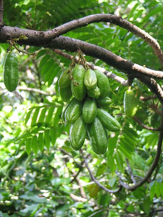 Bilimbi Mimbro Kamias To Filipinos A Sour Delight With Images