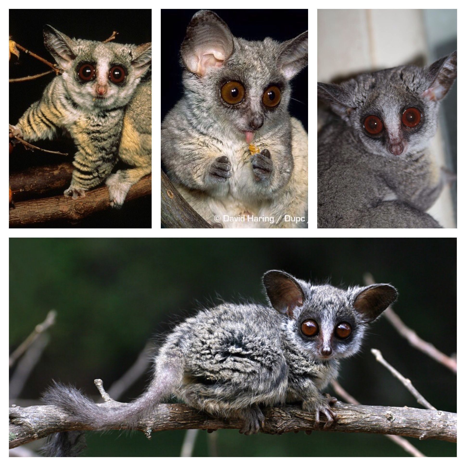 The Senegal Bushbaby Also Known As The Senegal Galago The Lesser