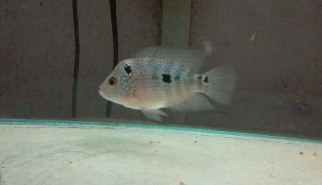 Baby Flowerhorn Flowerhorn This Or That Questions Aquarium Fish Fish
