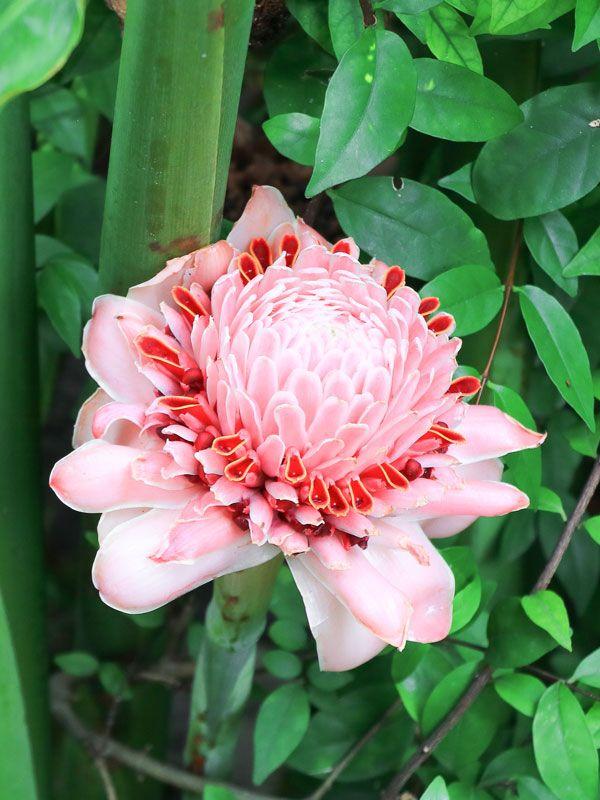 Lg Yamamoto Torch Ginger Plant Etlingera Elatior In 2020 Ginger Plant Torch Ginger Flower Torch Ginger