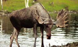 Älg, elk, moose Norra Sverige,