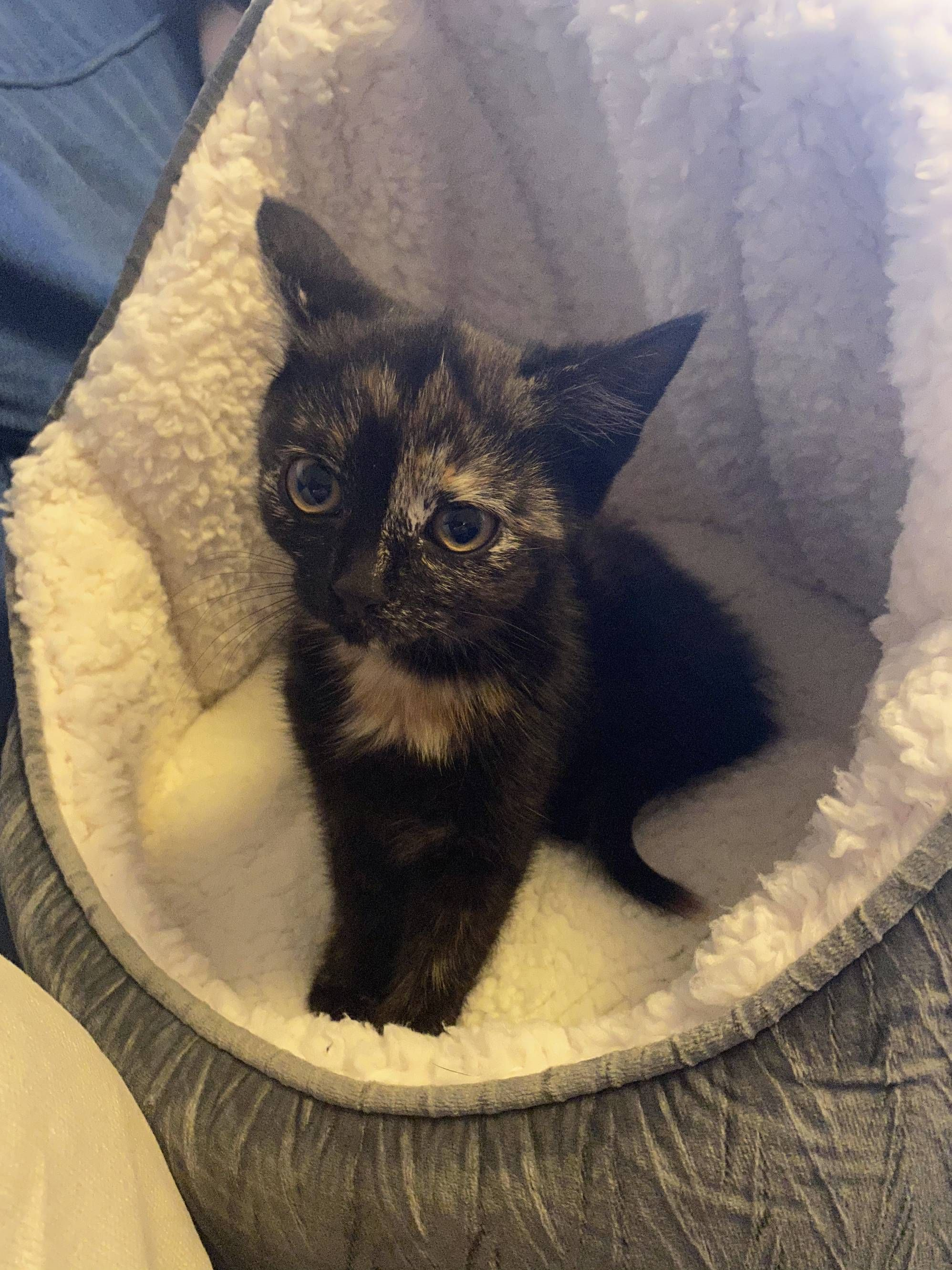Today I Adopted A Stray Kitten Meet Astridhttps I Imgur Com Hd9uwqm Jpg In 2020 Kitten Adoption Cat Qoutes Silly Cats