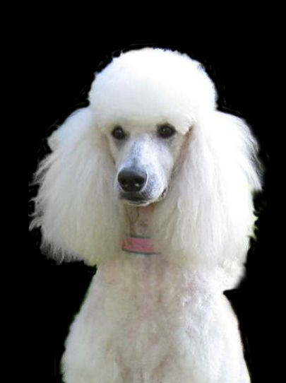 French Poodle Poodle Puppy Therapy Animals Poodle