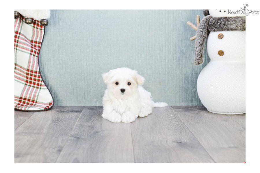 Teacup Max Maltese Puppy For Sale Near Columbus Ohio B00e05a5