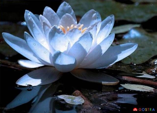 Blue lotus the blue lotus flower is related to a triumph of the blue lotus the blue lotus flower is related to a triumph of the spirit mightylinksfo