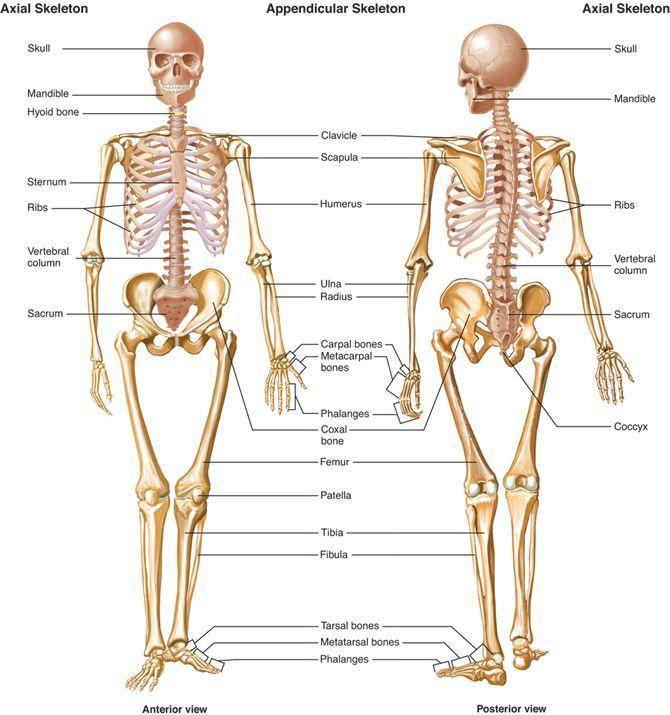 Nemme Knogle Navne Google Sgning Appendicular Skeleton