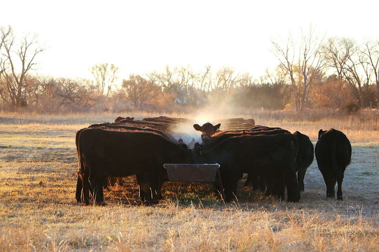 Coccidiosis can affect cattle health even if no signs are