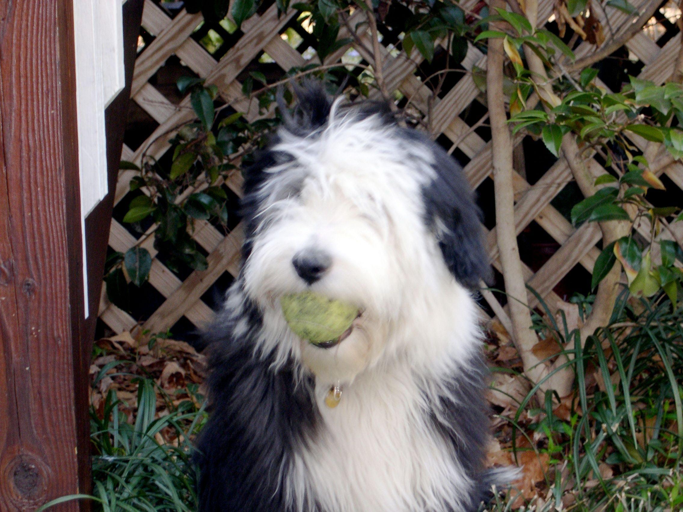 Wanna Play Bearded Collie Collie Dogs