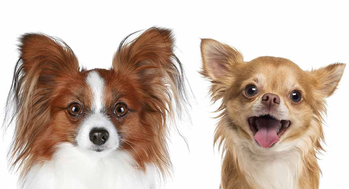 Papillon Chihuahua Mix The Cute Little Chion Chihuahua Mix