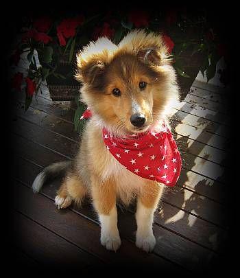 Baby Western Sheltie Sheltie Puppy Sheltie Puppies For Sale