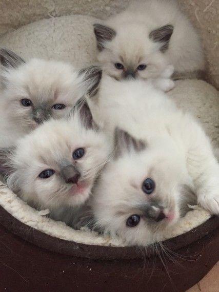 Gorgeous Ragdoll Kittens Gccf Registered Solihull West Midlands Pets4homes Ragdoll Kitten Ragdoll Cat Colors Ragdoll Cat