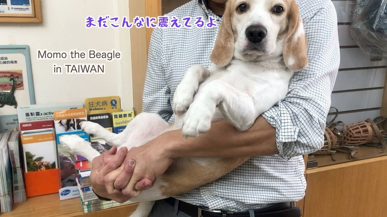 ビーグル犬モモ 病院に連れていかれるも注射が怖くて震えが止まらない Youtube ビーグル犬 ビーグル ビーグル かわいい