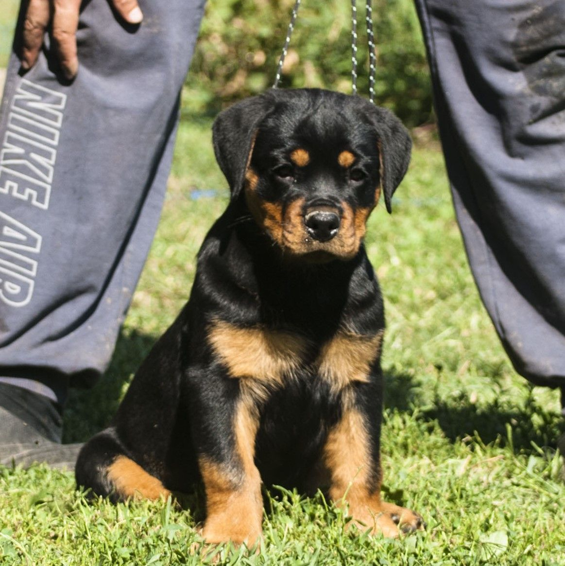 Female Rottweiler Puppy For Sale Rottweilerpuppies Rottweilerfemale Rottweiler Puppies For Sale Rottweiler Puppies Rottweiler