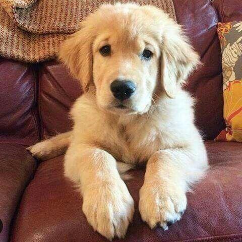 Big Paws Dogs Golden Retriever Golden Retriever Golden