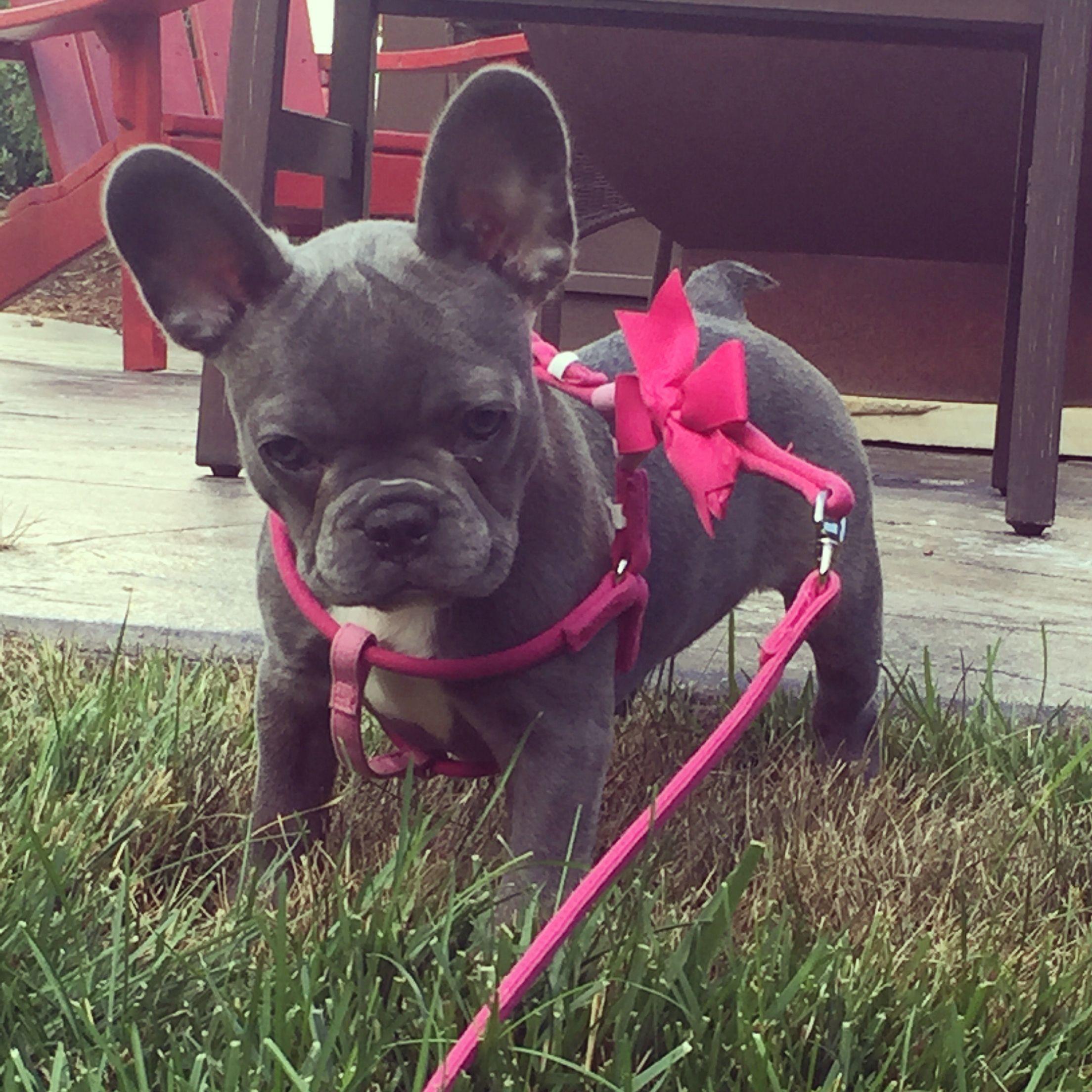 Meet Graci Bleu Frenchie Gracie Bleu French Bulldog Photo