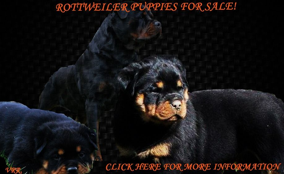 Park Art My WordPress Blog_Rottweiler Puppies For Sale In South Jersey