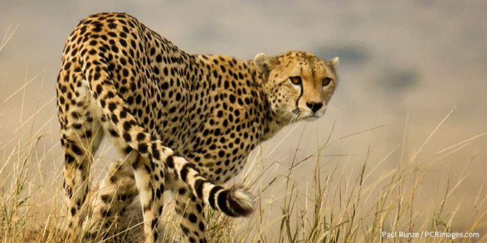 Petition Endangered Cheetahs Dont Belong On A Leash Ban The