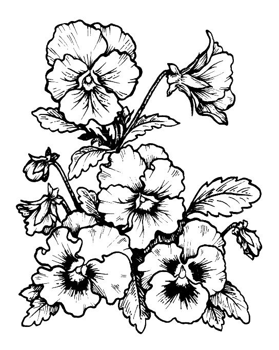 Eet53r Flower Line Drawings Pansies Flower Drawing