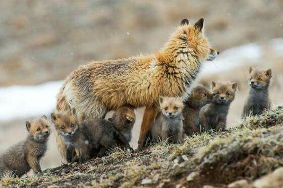 Mother fox and puppies