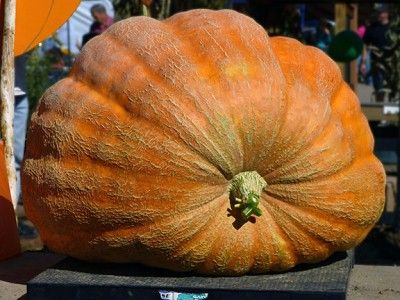 Want some tips on how to grow giant pumpkins? Click here: http://www.vegetablegardener.com/item/12872/how-to-grow-giant-pumpkins#
