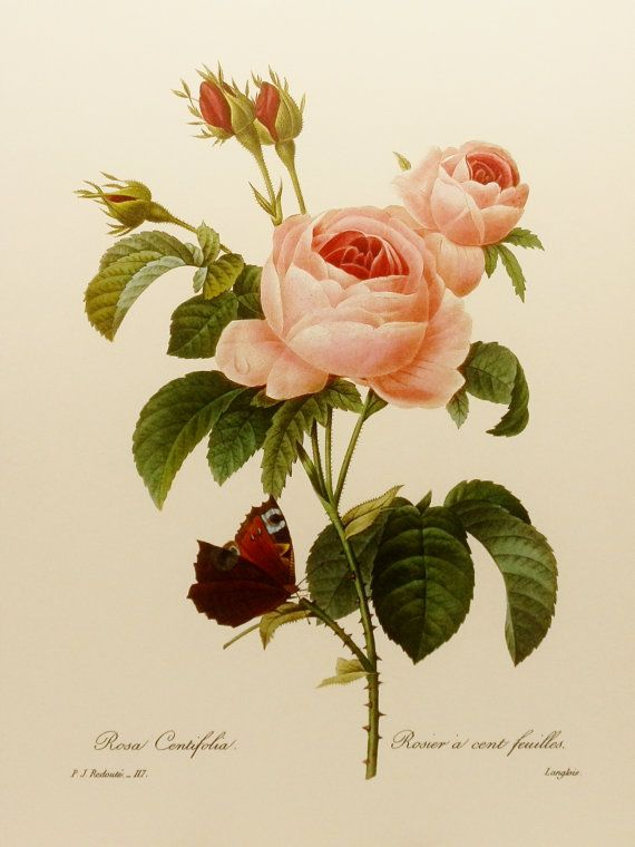 Redoute Rose Botanical Illustration (Pink Flower Print) No. 117