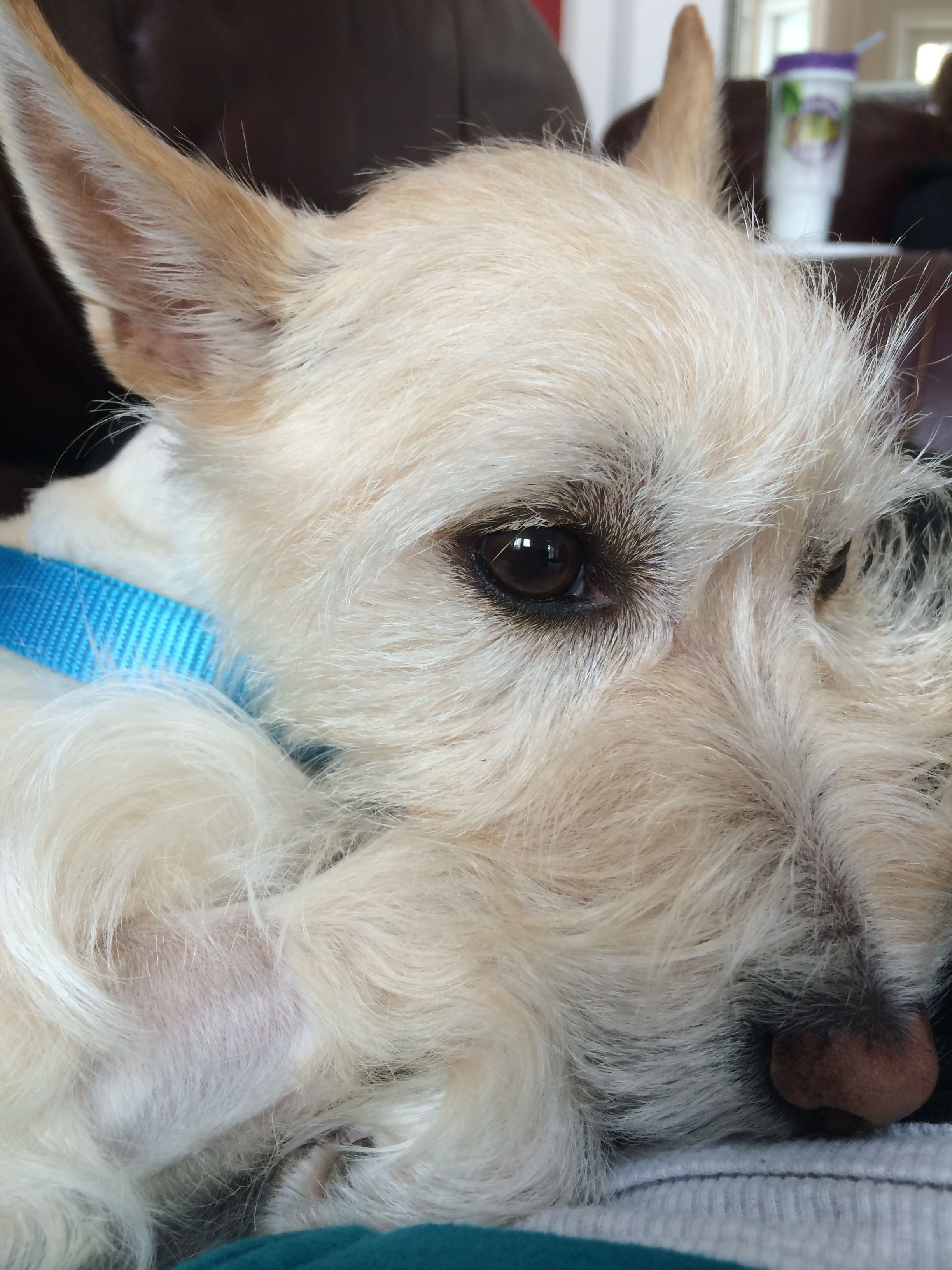Westie Jack Russell mix