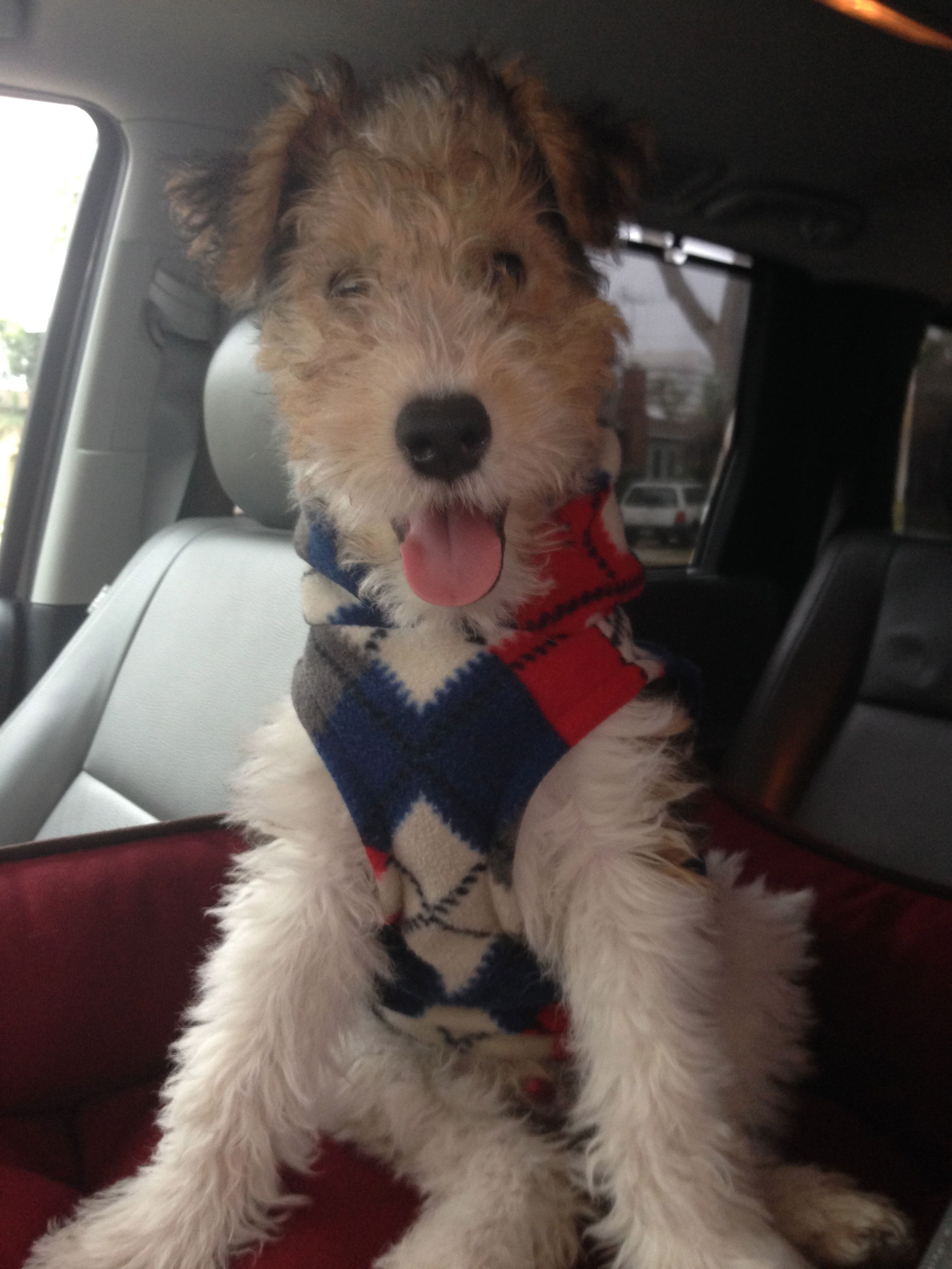 Love the sweater! And I think he does too! | fox terriers ...