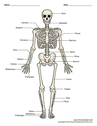 human skeleton diagram | science printables | pinterest | human, Skeleton
