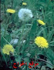 الموسوعة الكاملة للأعشاب الصحية الهندبـــــــــاء Plants Blog Posts Blog