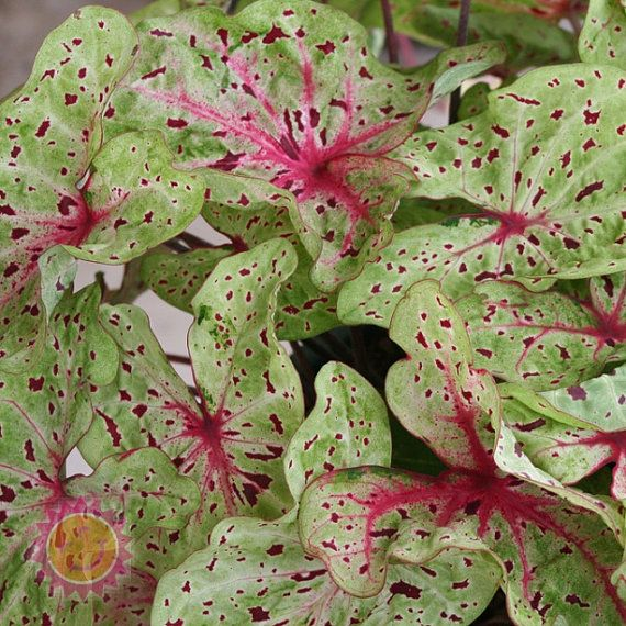 Superb Miss Muffet Caladium Bulbs