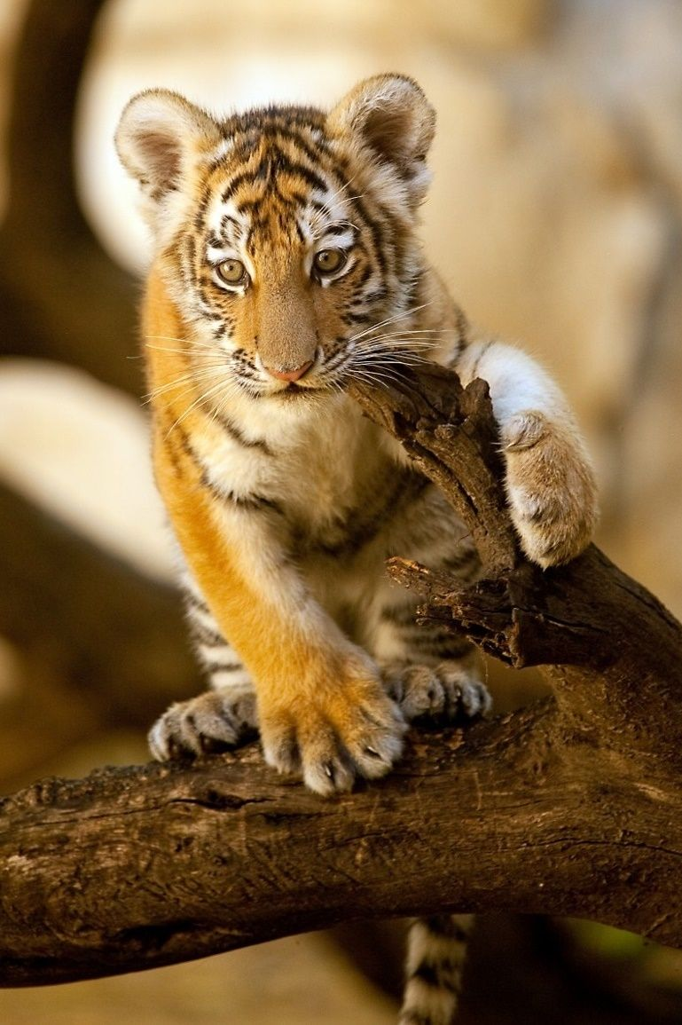 Tiger Cub by charles nolder Wild Cats