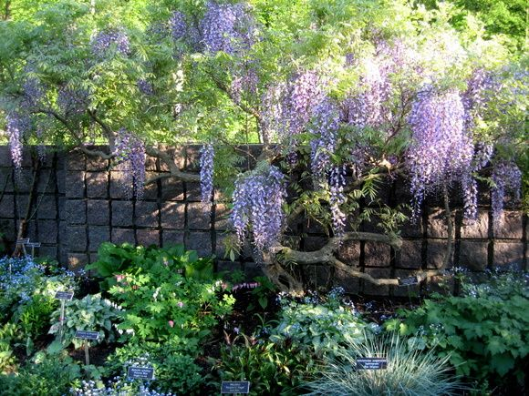 Wisteria at Brookside Gardens.