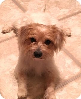 Pictures Of Cheech A Cairn Terrier Yorkie Yorkshire Terrier Mix