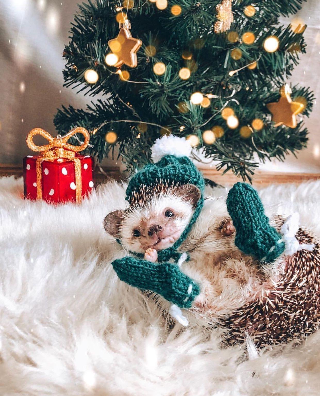 Merry Christmas From Mr Pokee Cute Animals Cute Animal Memes Cute Hedgehog