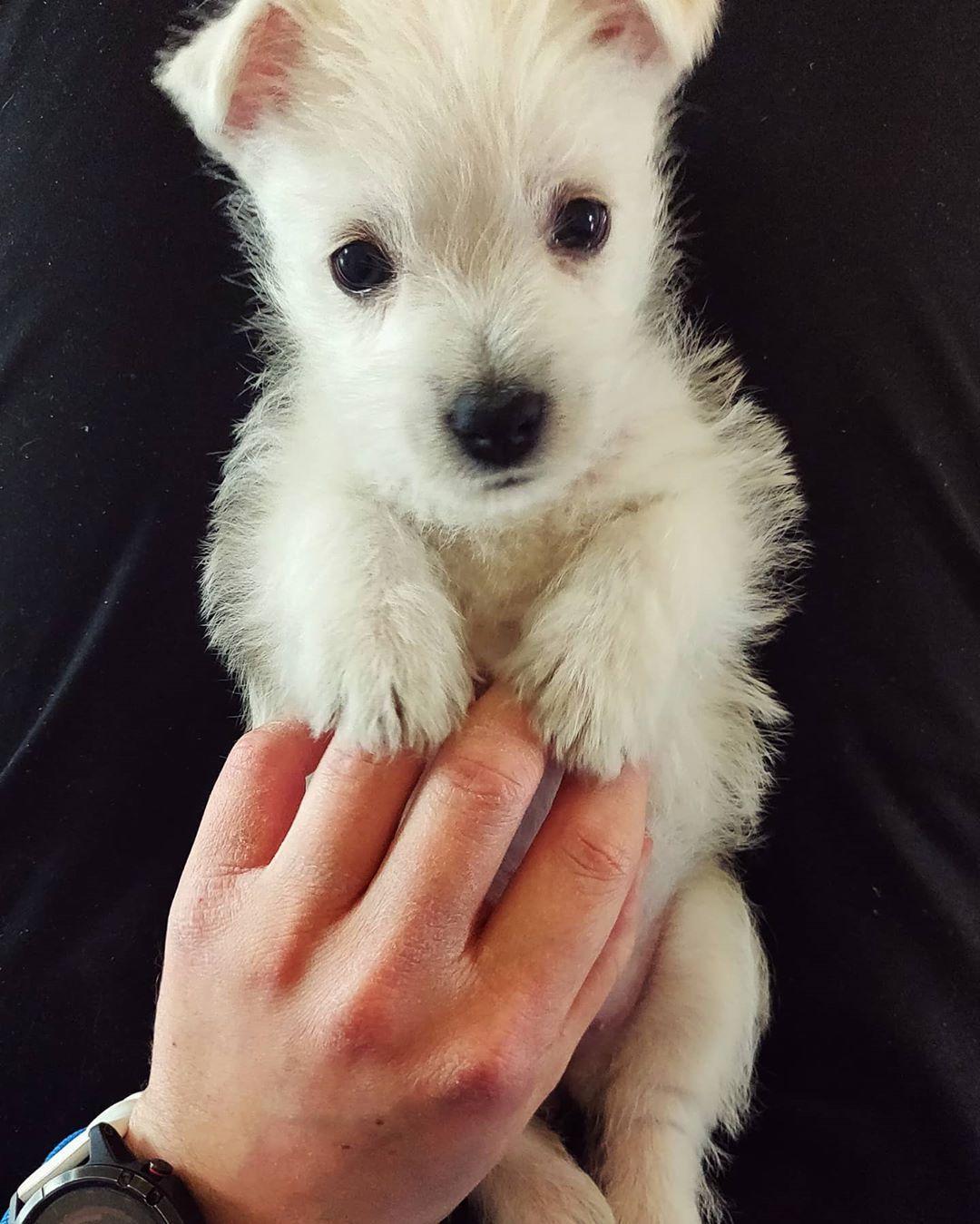 Kattokaaa Nyt Sita Kattokaaa Tassa On Luna Aka Lunanaattori Meidan Perheen Uusi Jyystaja Terroristi Ja In 2020 West Highland White Terrier White Terrier Westies