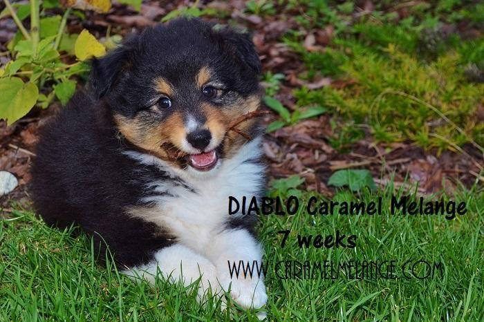 Owczarek Szetlandzki Sheltie Rodowodowe 4690666484 Oficjalne Archiwum Allegro Shetland Sheepdog Sheltie Animals