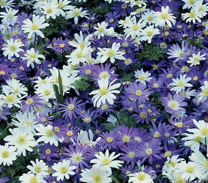 """anemone (windflower) full-part sun, blooms, april-may, transition flower between spring bulbs and summer perenials. rock garden, perennial beds, lawn. 3-4"""""""