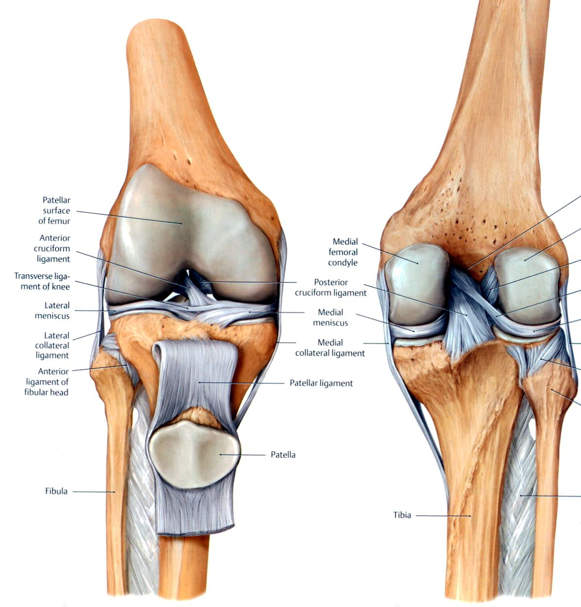Knee Ligament Anatomy Anatomy Pinterest Knee Ligaments