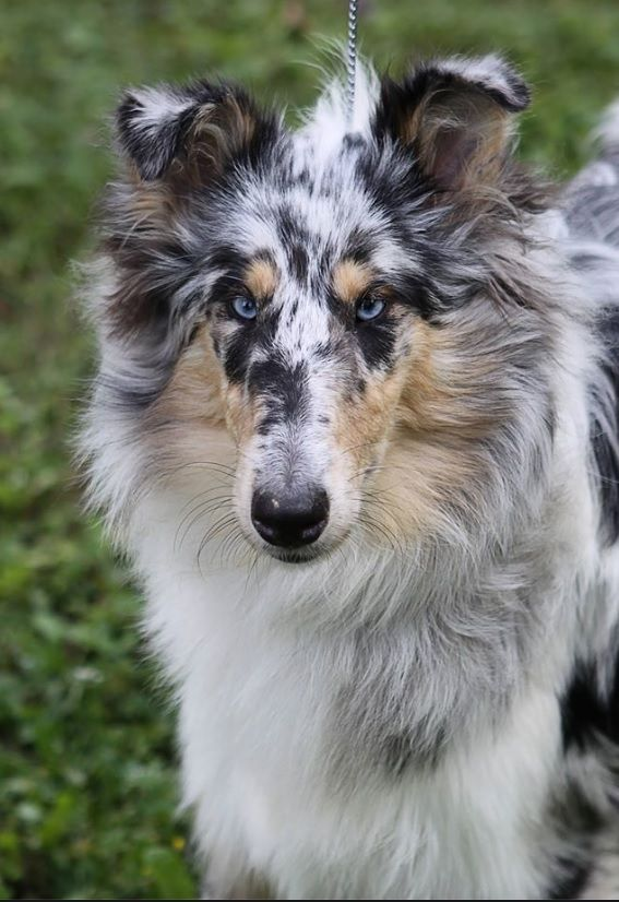 Rough Collie Blue Merle Female Sheep Dog Puppy Rough Collie Blue Merle Collie